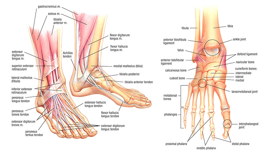 Anatomy of a Foot